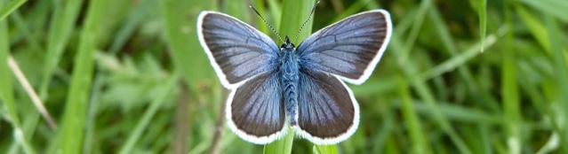 Schmetterling Blaugrau