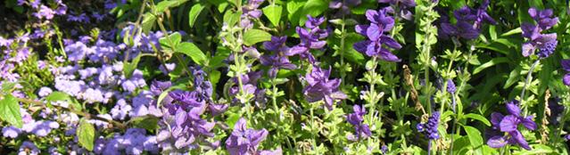 Pflanze Lila